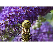 Dragonfly on a Buddleia 2 Photographic Print