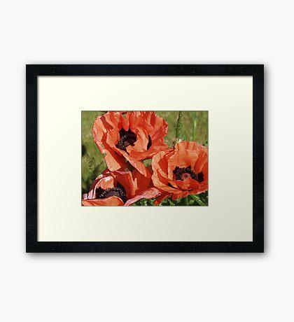 Poppy flower poster Framed Print