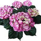 Circle of Pink Hydrangea by Susan Savad