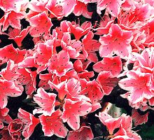 Azaleas by Peter Sandilands