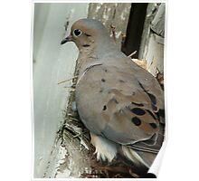 Nesting Pigeon Poster