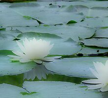 Water Lillies by Michael  Dreese