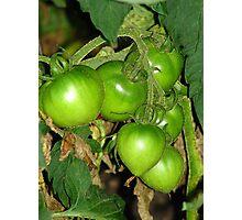 Tomatoes on the Vine Photographic Print