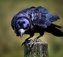 Crow by eric abrahamowicz