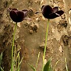 Black tulips by Filiz A