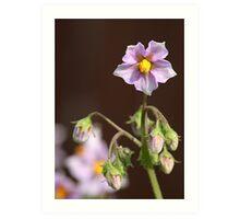 Potato Blossoms 2 Art Print