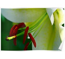 White Lilly Closeup Poster