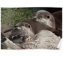 Part Of The Sweet Family Of Otters At  Escot Poster