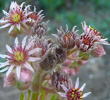 Hens and Chicks in Bloom by RoaddogDesigns