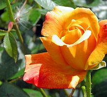 Golden Anniversary Rose by Lesliebc