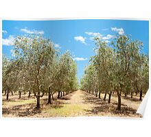 Rows of Olives Poster
