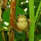 brown tree frog by Donovan wilson