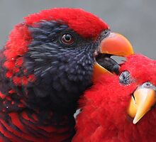 Red Lory....... by jdmphotography
