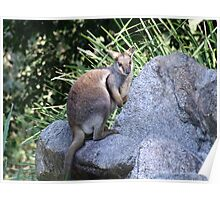 Rock Wallaby Poster