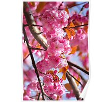 Cherry Blossom Filled Spring Poster