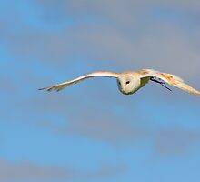 Barn Owl In Flight........ by jdmphotography