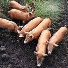 Seven little pigs by John Quinn