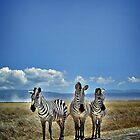 Zebra Trio by Scott Ward