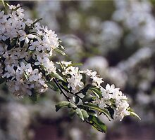 Apple Blossoms #3 by artbysas