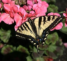 A Tattered Little Butterfly by PrairieRose