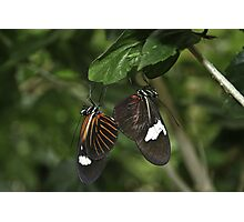 A Butterfly Pair Photographic Print