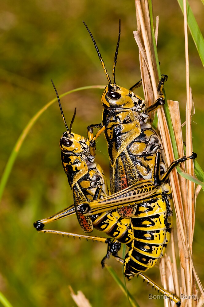 Southeastern Lubber Grasshopper Mates by Bonnie T.  Barry