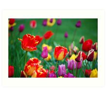 Tulips in the Spring Art Print