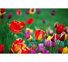 Tulips in the Spring Photographic Print