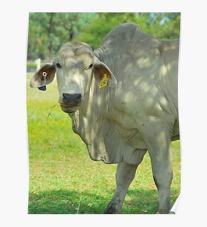 Brahmin Bull Portrait Poster