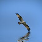 Osprey with Fish by Kimberly Palmer