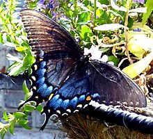 Blue Butterfly by Sherry Durkin