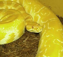 Albino Burmese Python by SneakySnakesINC