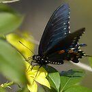 Pipevine Swallowtail On Jasmine Vine by Penny Odom