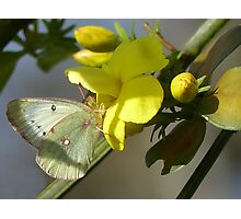 Orange Sulfur Butterfly Photographic Print