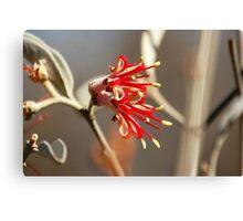 Mistletoe from Mt Magnet Canvas Print