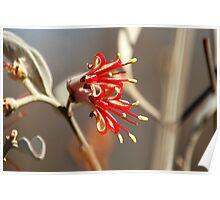 Mistletoe from Mt Magnet Poster