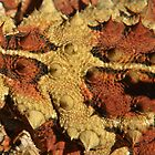 Detail of a Thorny Devil (Moloch horridus)  by Blue Gum Pictures