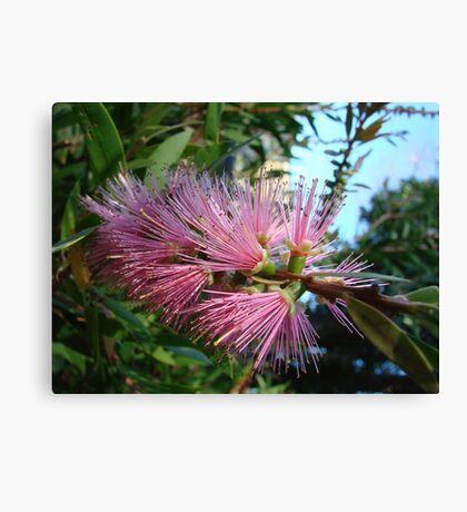 Pretty Pink Bottlebrush Canvas Print
