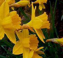 Daffodils by Ben Freer