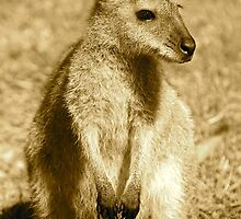 Sepia Wallaby by Penny Smith