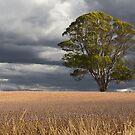 Poppy Fields, Tasmania by Tim Wootton