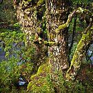 Myrtle Beech by Tim Wootton