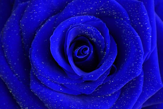 Blue Rose by Paulo Nuno