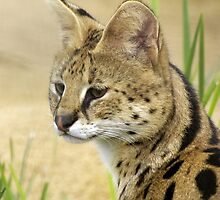 Serval, 2 by Aussiebluey
