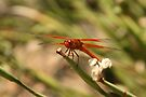 Fire Red Drangonfly by Kimberly Palmer
