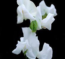 White Sweet Pea by Karen Martin