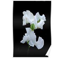 White Sweet Pea Poster