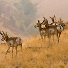 Prong Horn Antelopes by LarryGambon