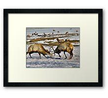 Elk Fight Framed Print