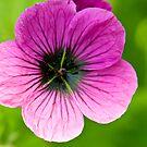 Pink Flower by Nala